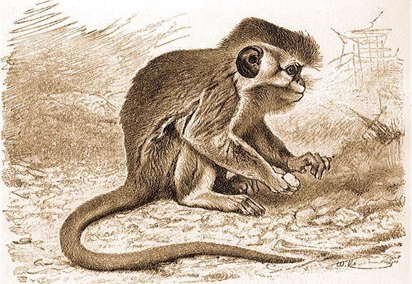 majom felállítása)
